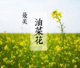 精品的油菜花powerpoint模板下載,共有5張的植物模板免費下載